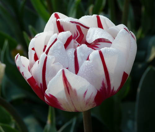 Produktbild Tulipa 'Carnaval de Nice'