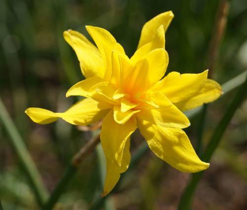 Produktbild Narcissus x odorus 'Plenus'