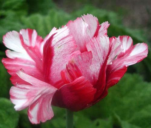 Produktbild Tulipa 'Estella Rijnveld'