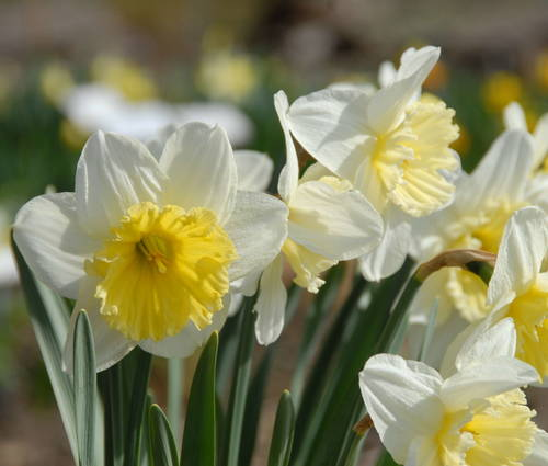 Produktbild Narcissus 'Ice Follies'