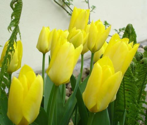 Produktbild Tulipa fosteriana 'Yellow Purissima'