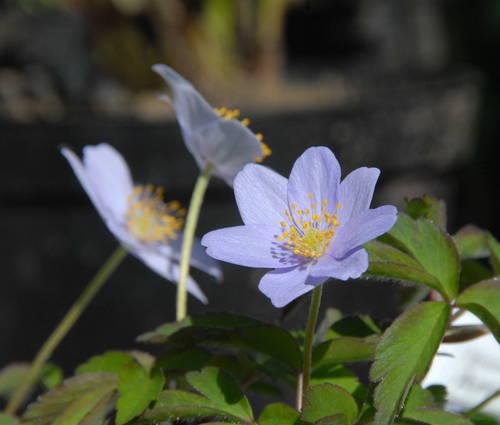 Produktbild Anemone nemorosa 'Robinsoniana'