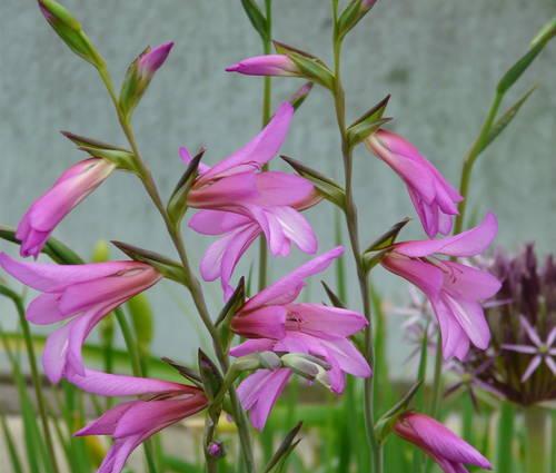 Produktbild Gladiolus communis ssp. byzantinus