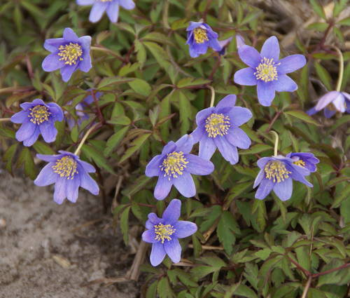 Produktbild Anemone nemorosa 'Royal Blue'
