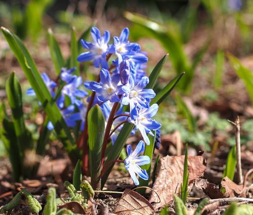 Produktbild Chionodoxa forbesii 'Blue Giant'