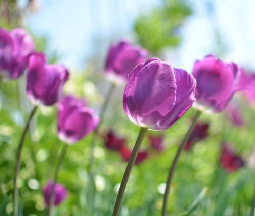 Produktbild Tulipa 'Negrita'