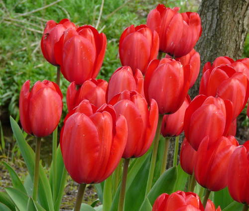 Produktbild Tulipa 'Red Impression' ®