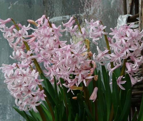 Produktbild Hyacinthus orientalis 'Pink Festival'