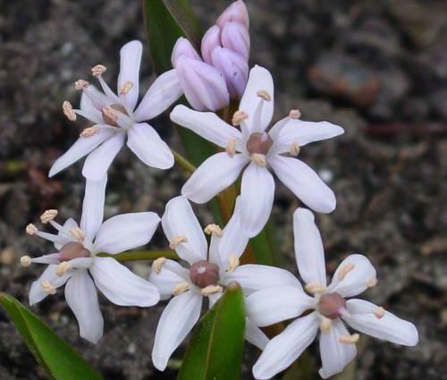 Produktbild Scilla bifolia 'Rosea'