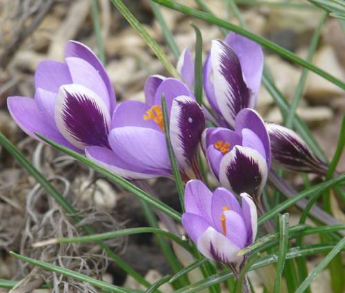 Produktbild Crocus minimus 'Spring Beauty'