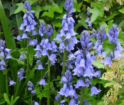 Produktbild Hyacinthoides hispanica, blau