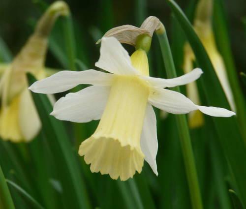 Produktbild Narcissus 'Elka'