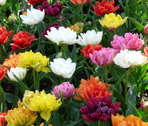 Produktbild Tulipa 'Murillo Mix'