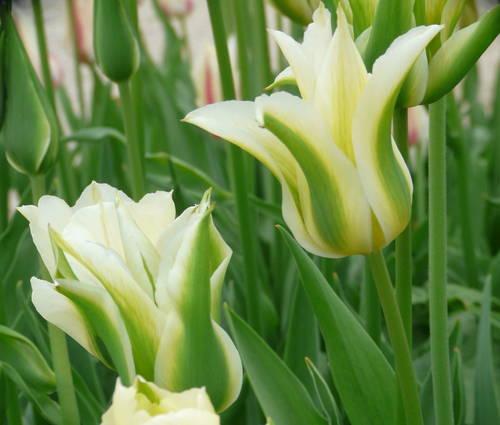 Produktbild Tulipa 'Greenstar'