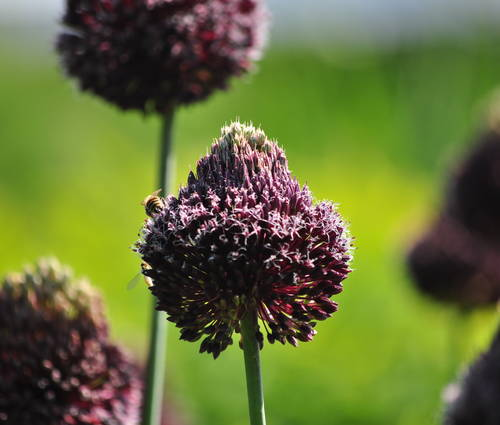 Produktbild Allium Hybride 'Forelock'