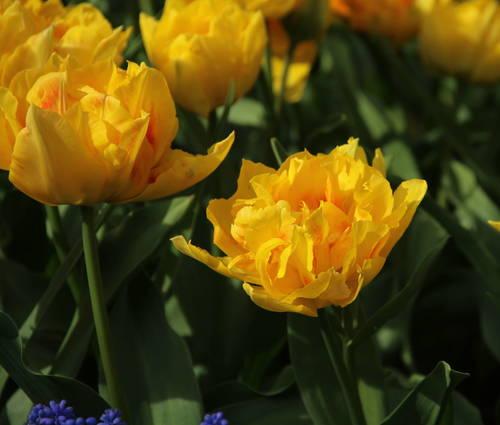 Produktbild Tulipa 'Jan Steen'
