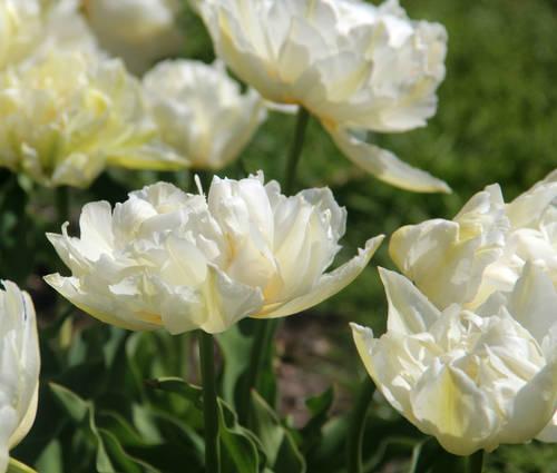 Produktbild Tulipa 'Gerard Dou'