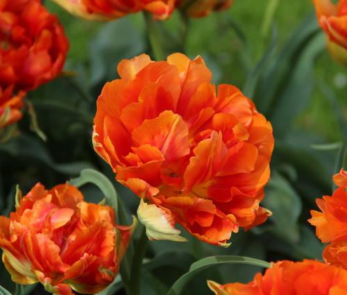 Produktbild Tulipa 'Aga Khan'