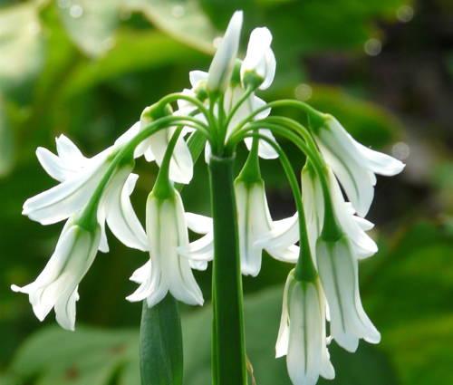 Produktbild Allium triquetrum