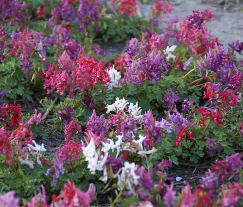 Produktbild Corydalis solida ssp. solida 'Mix'