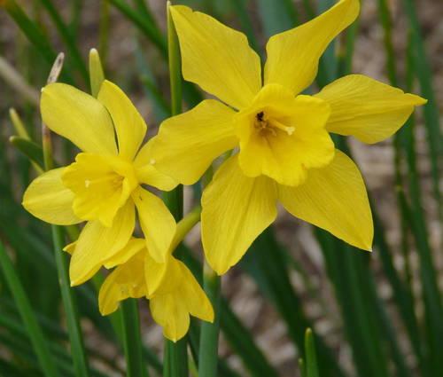 Produktbild Narcissus x odorus