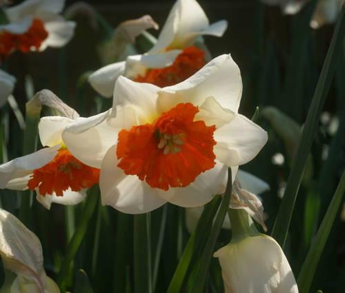 Produktbild Narcissus 'Bella Vista'