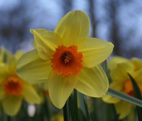 Produktbild Narcissus 'Fortissimo'