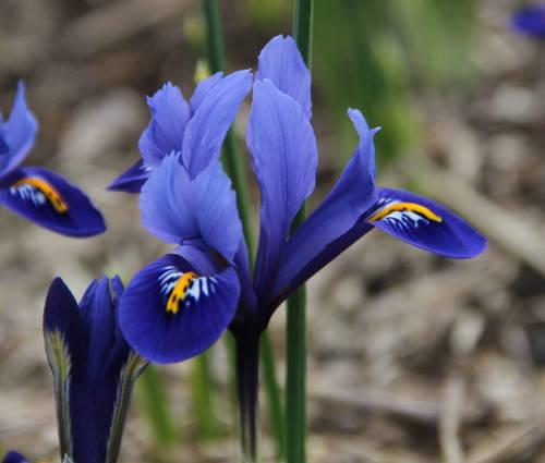 Produktbild Iris reticulata 'Harmony'