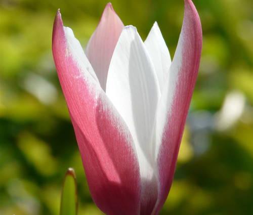 Produktbild Tulipa clusiana 'Peppermint Stick'