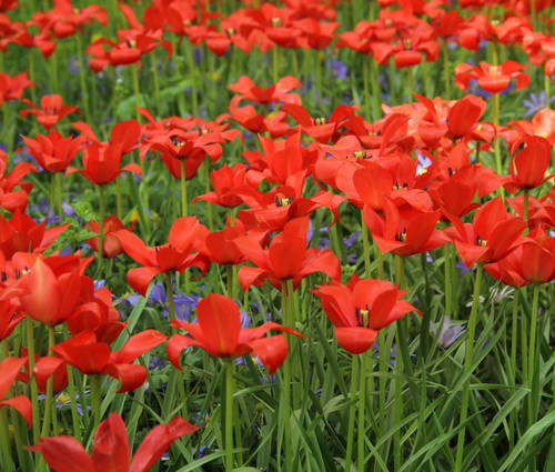 Produktbild Tulipa linifolia