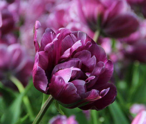 Produktbild Tulipa 'Blue Diamond'