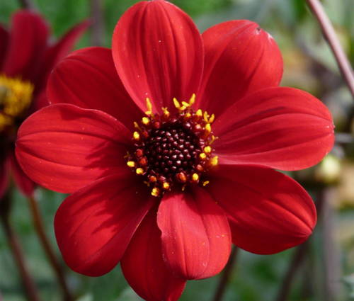 Produktbild Dahlia 'Bishop of Auckland ®'