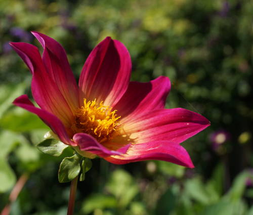Produktbild Dahlia 'Bright Eyes'