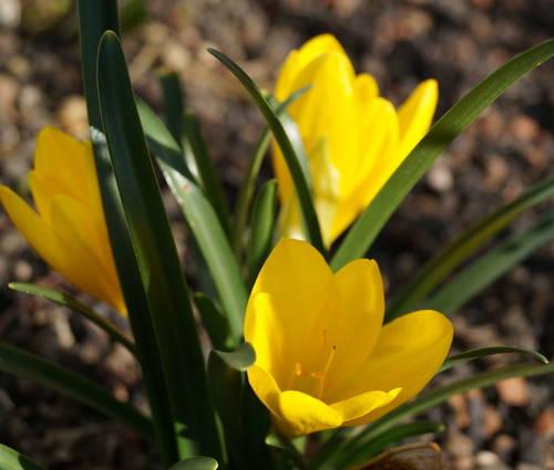Produktbild Sternbergia lutea