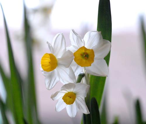 Produktbild Narcissus tazetta 'Chinese Sacred Lily'