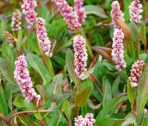 Produktbild Polygonum affine 'Darjeeling Red'