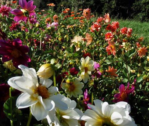 Produktbild Saatgut: Dahlia hortensis 'Unwins Mix'