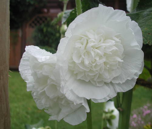 Produktbild Alcea rosea plena 'Chaters Weiß'