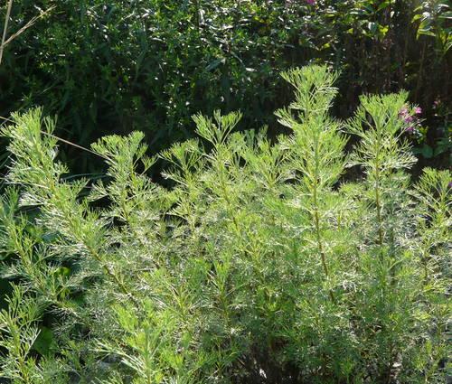 Produktbild Artemisia procera