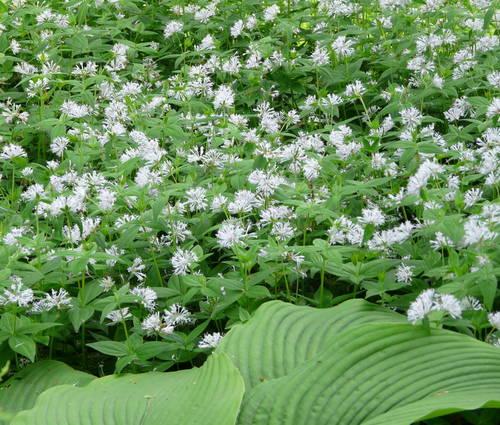 Produktbild Asperula taurina var. caucasica