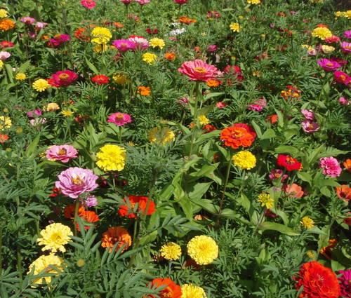 Produktbild Saatgut: Sommerblumenmischung Sommertraum