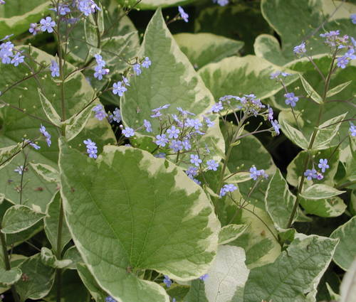 Produktbild Brunnera macrophylla 'Hadspen Cream'