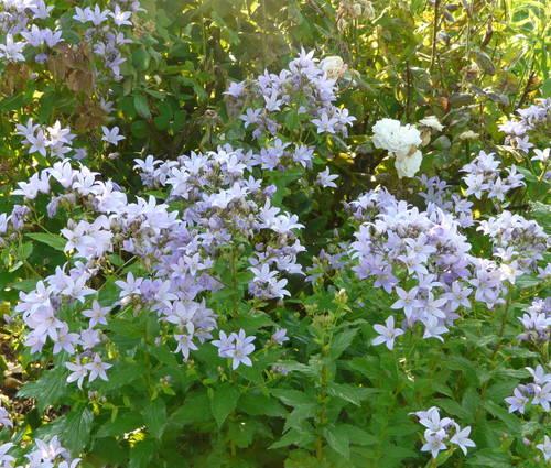 Produktbild Campanula lactiflora 'Prichard's Variety'