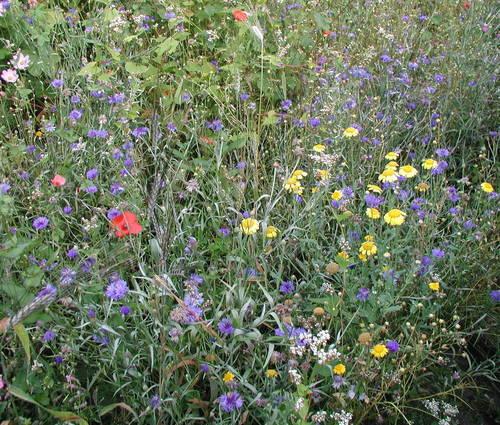 Produktbild Saatgut: Feldblumenmischung