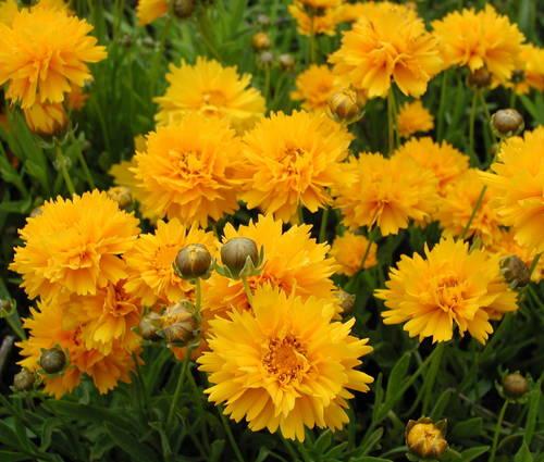 Produktbild Coreopsis grandiflora 'Sunray'