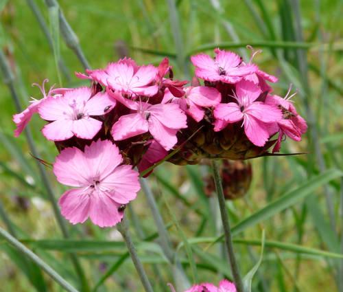 Produktbild Dianthus carthusianorum
