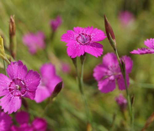 Produktbild Dianthus deltoides 'Roseus'