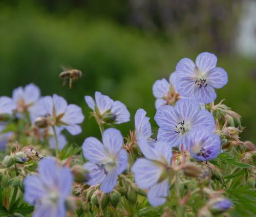 Produktbild Geranium pratense 'Mrs Kendall Clark'