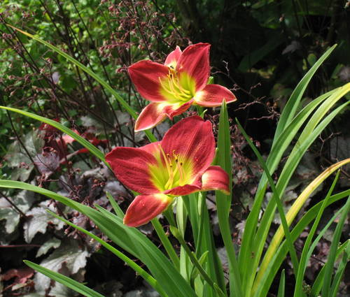 Produktbild Hemerocallis Hybride 'Christmas Is'