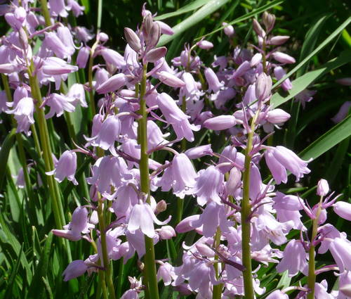 Produktbild Hyacinthoides hispanica 'Miss World'